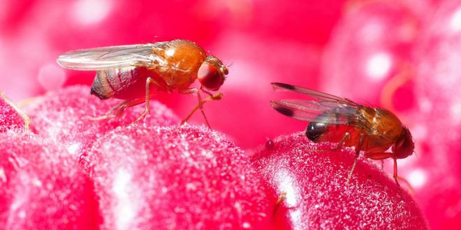 Une nouvelle mouche menace ravage les cultures au Kenya