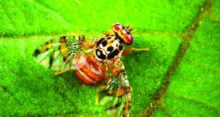 Le Maroc importe 440 millions de mouches d'Argentine pour lutter contre les ravageurs agricoles