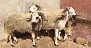 Maroc 5,8 millions de têtes ovins et caprins identifiés pour Aïd Al-Adha