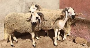 La baisse de la consommation en viande rouge réduit les prix des moutons