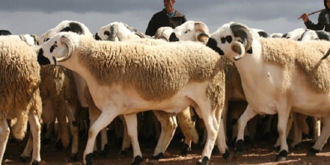 Les moutons marocains sont autorisés à Melilla, c'est officiel!