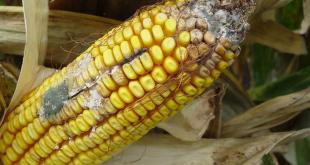 Les mycotoxines en alimentation animale : Risques, gestion et prévention