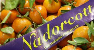 La première variété marocaine de Nadorcott cartonne en Europe
