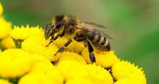 Néonicotinoïdes: Quelles conséquences sur les abeilles ?