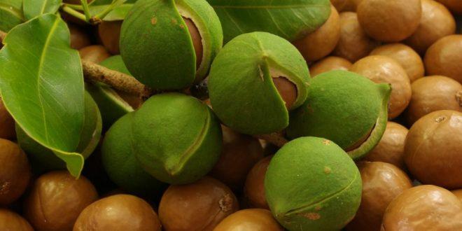 noix macadamia culture croissante