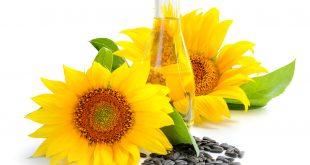 Quels sont les effets du stress hydrique sur le rendement des graines de tournesol