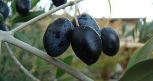Le Maroc exportations olives noires États-Unis