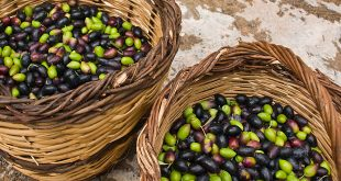 Le Maroc envisage d'augmenter la production olives de 14%
