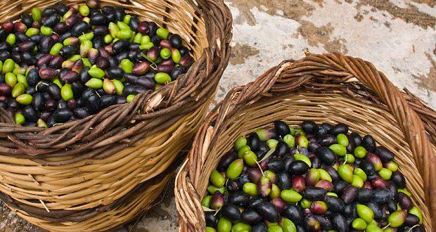 Le Maroc envisage d'augmenter la production olives de 14%