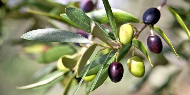 Olives : Le COI améliorera les banques de matériel génétique