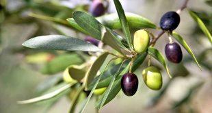 Fès-Meknès 2.500 ha de céréales seront convertis en olivier