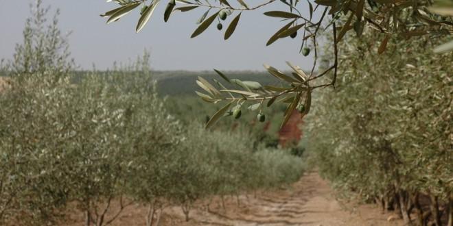 Olivier: Les besoins en eau d'irrigation