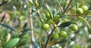 Les agriculteurs tunisiens arrêtent la cueillette des olives en réaction contre la chute des prix