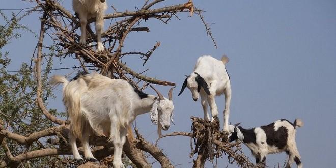 ONCA: Conseil pour les éleveurs au festival Missour
