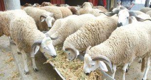 ONSSA vaccine plus de 12 millions d'ovins contre la peste des petits ruminants