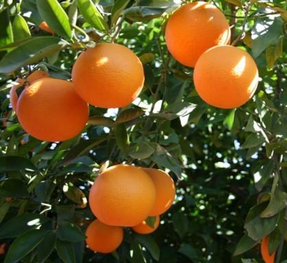 Orange Chamsia - INRA Maroc