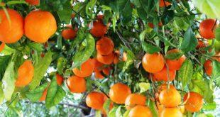 approvisionnement mondial en orange est sous la menace de la sécheresse