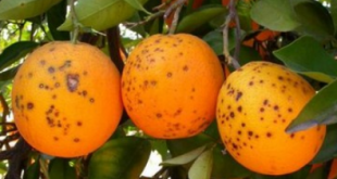 États-Unis deux ravageurs menacent les cultures agrumes