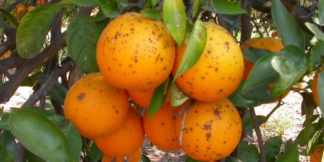 La présence de ravageurs dans les oranges argentines fait débat