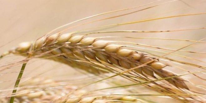 Smara-Distribution-de-15.000-quintaux-d-orge-subventionnée-aux-éleveurs