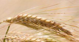 Dakhla : Distribution de 20.000 qtx d'orge subventionnée au profit de 1.500 éleveurs