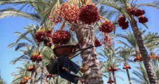 Le palmier dattier, ce symbole des civilisations arabes devient un patrimoine culturel de l'UNESCO