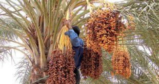 palmier-dattier