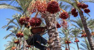 Guelmim Oued Noun : Un incendie ravage 170 palmiers dattiers