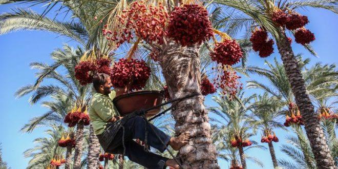 Tunisie : le nombre de palmiers infectés par le charançon rouge en baisse