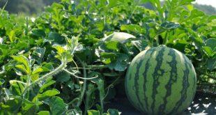 ONSSA : la pastèque marocaine n'est pas cultivée avec des semences OGM