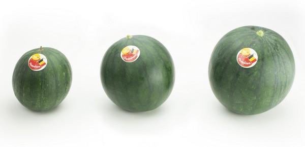 Des pastèques hydroponiques poussent entre les plants de tomates