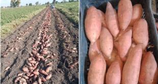 Aperçu du marché mondial de la patate douce