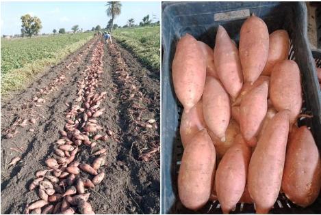 L-Égypte-augmente-sa-superficie-de-patates-douces-en-raison-d-une-forte-demande