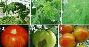 Tomates : la Nouvelle-Zélande suspend ses exportations en raison du PepMV