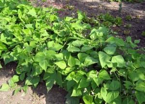 plante-haricot-vert