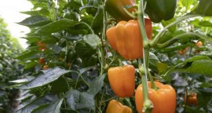 Poivrons: Le système d'évaporation verticale augmente la productivité des cultures en serre
