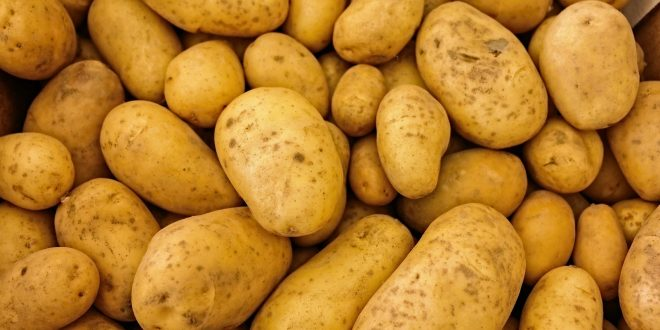 Diminution record du prix des pommes de terre au Maroc