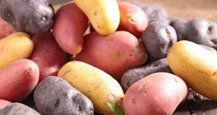 Le Covid-19 affecte les exportations de pommes de terre en France