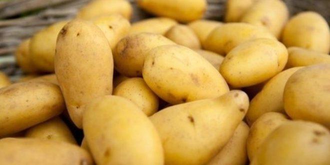 La pomme de terre Nicola du Maroc très appréciée aux Pays-Bas pour sa qualité