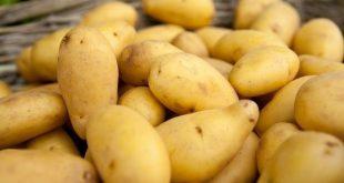 Pommes de terre : La variété Nicola marocaine à l'affut de l'Europe