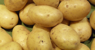 L'Algérie veut arrêter d'importer des semences de pommes de terre