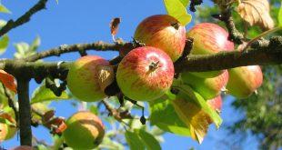 Le secteur des pommes : une filière en recherche d'investisseurs