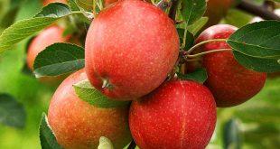 La production de pommes est sous la menace du changement climatique