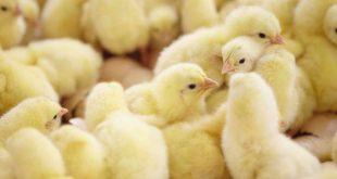 Le-Maroc-autorise-l-importation-de-matériel-génétique-avicole-du-Brésil