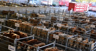 Sidi-Bennour: Le premier marché aux bestiaux du Maroc!