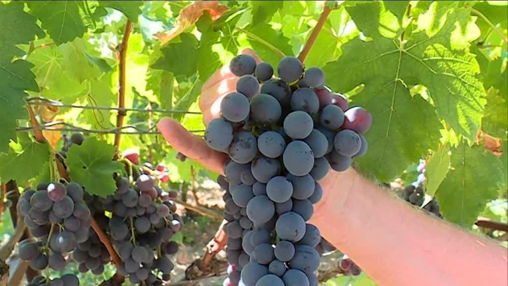 Raisin de table excellentes perspectives de la demande mondiale - Planter vigne raisin de table ...