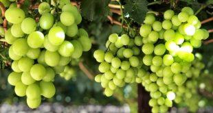 L'Afrique du Sud s'attend à une hausse de ses exportations de raisins