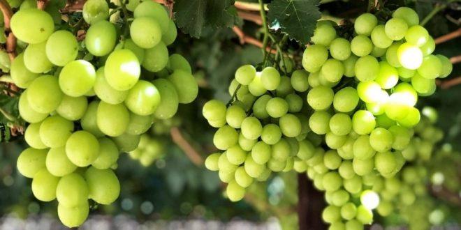 Les-premiers-raisins-blancs-sans-pépins-du-Maroc-font-leur-entrée-dans-le-marché-européen