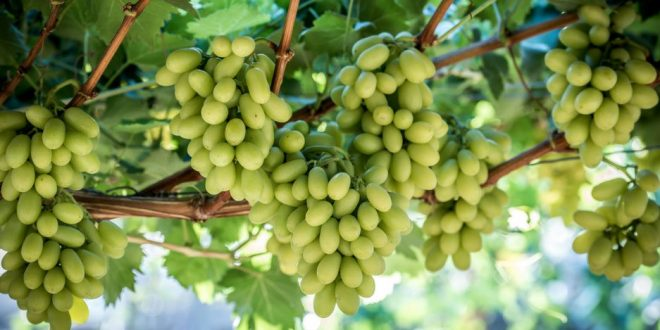 Égypte va augmenter ses exportations de raisins de table de 13%