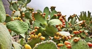 Ras Laksar: Journée d'étude sur la culture du cactus